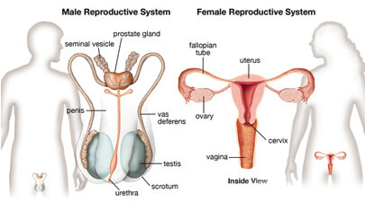 Interesting Facts About Human Reproductive System