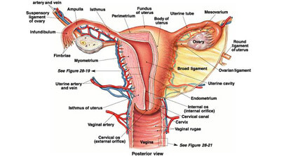 Functions Of Human Reproductive System